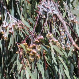 Eucalyptus Bells