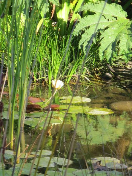 White Lily on stem