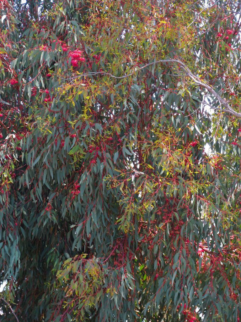 Monet Eucalyptus