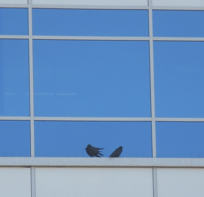 Birds in a Corporate WIndow