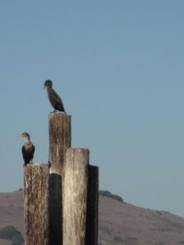 2 cormorants