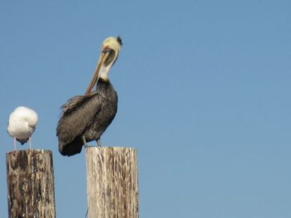 Pelican & seagull preening