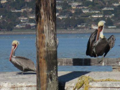 Pelicans preening