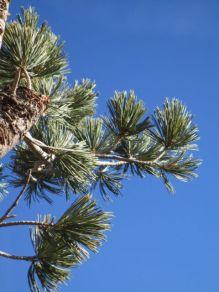 Pine at 9,000 feet
