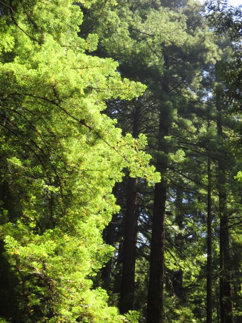 Green redwoods