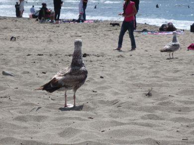 Seagull Rear View