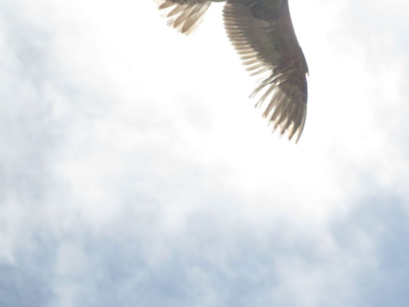 Seagull Wing Tip