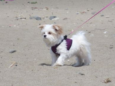 White Dog with Purple Vest