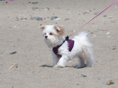 White Dog with Purple Vest
