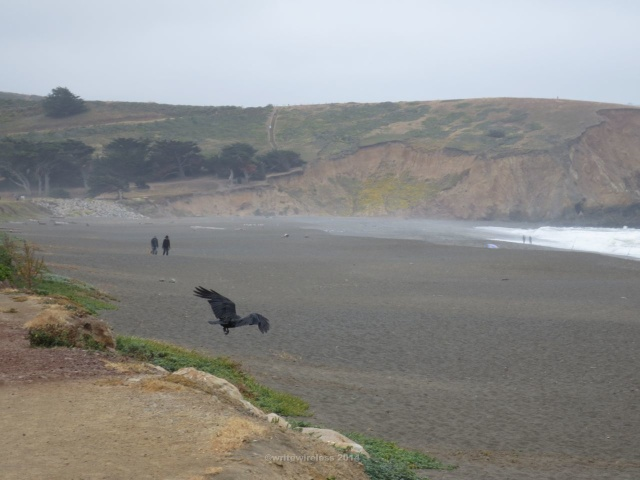 Crow at Mori Point