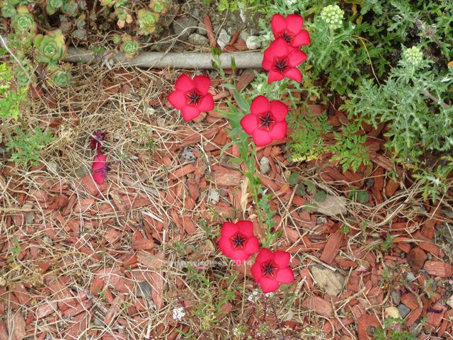 Pretty Red 5-Point Flowers