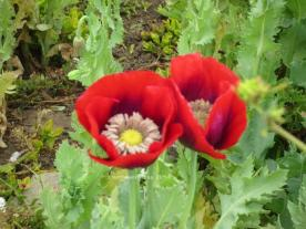Red Poppies Close-Up, Moss Beach