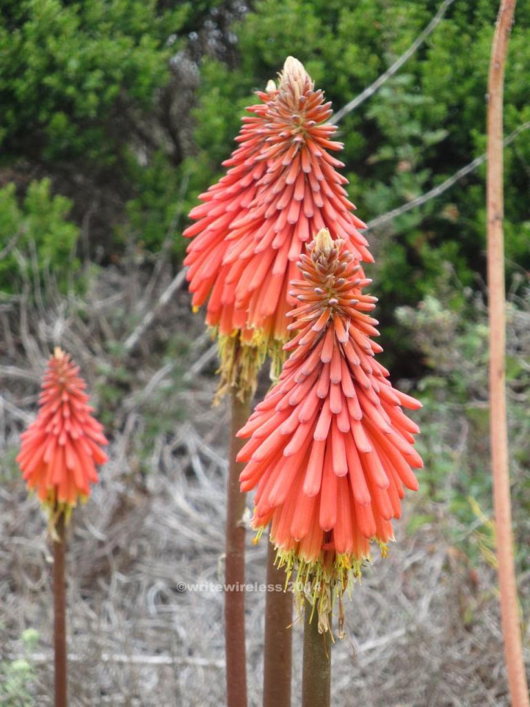 """""""Tiki Torch"""" Flowers, Moss Beach"""