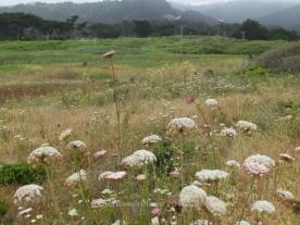 Mori Point Meadow