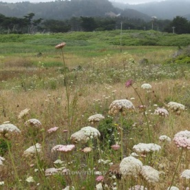 Mori Point Meadow