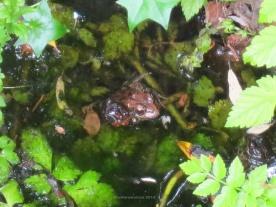 Red-legged frog 3