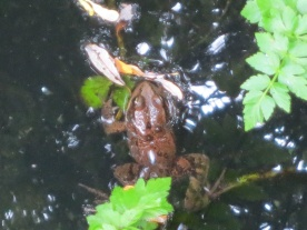 Red-legged frog 2