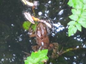 Red-legged frog 2