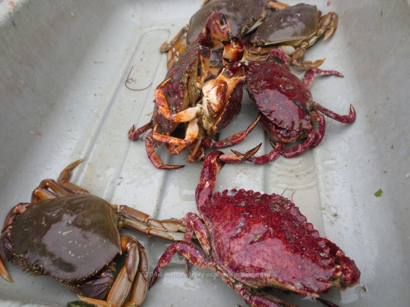 Crabs in Pan