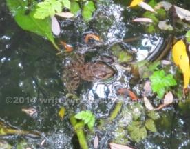 Red-legged frog at Laguna Salada