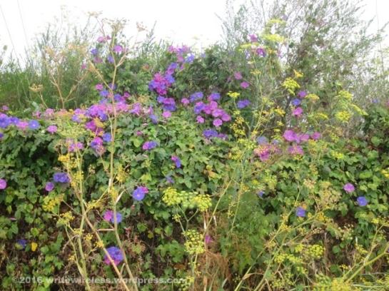 Purple Morning Glories 1