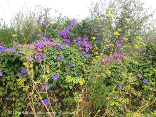 Purple Morning Glories 1