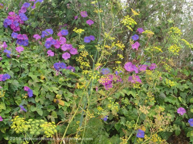 Purple Morning Glories 2