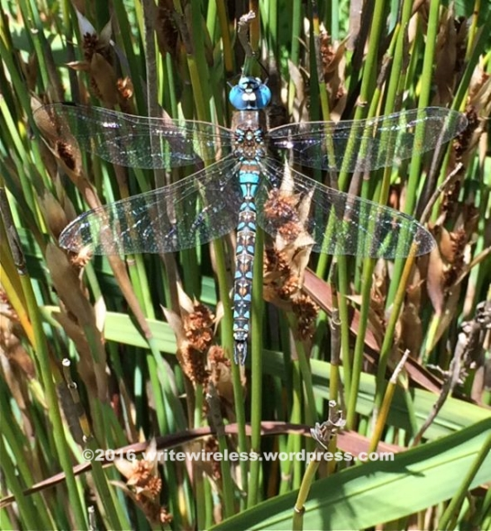 Turquoise Dragonfly2